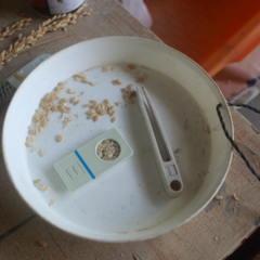 ハザ干し米の収穫